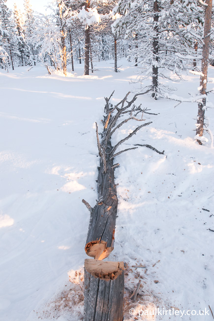 Felled dead pine on snow