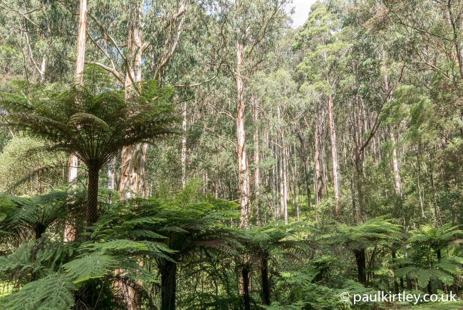 Tree ferns and mountain ash in the Dandenong Ranges, Victoria, Australia