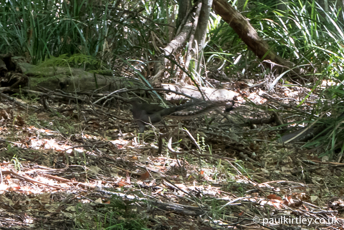 Lyrebird in the woods