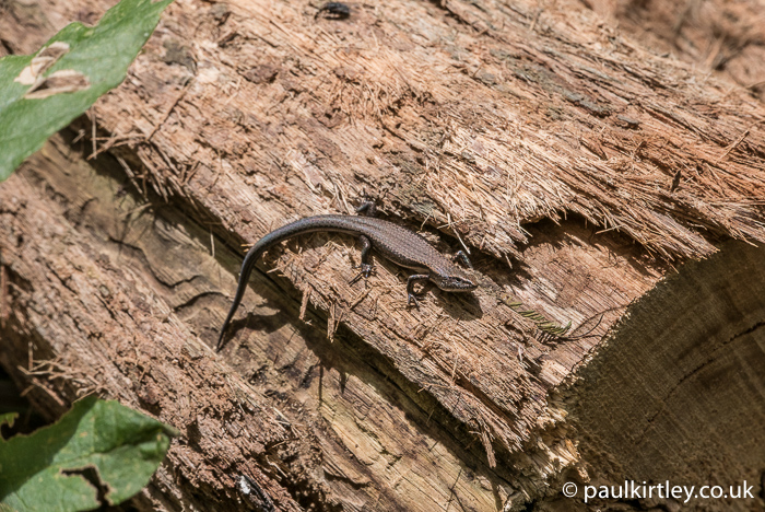 skink little lizard