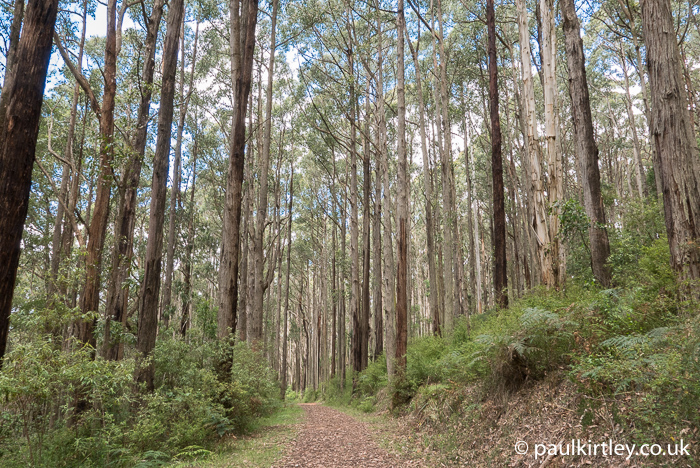 tall trees in Australia