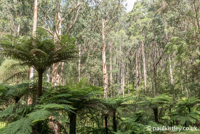 tree ferns in a forest