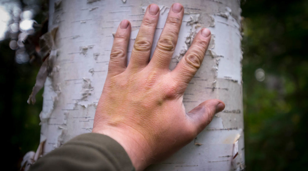 Human hand on birch tree