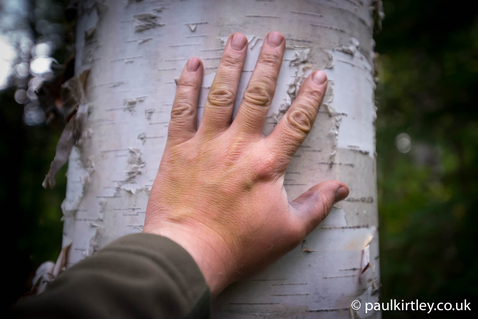 Human hand on birch tree