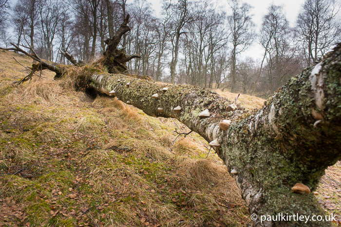Fallen birch tree with many horse hoof fungus bracket fungi along its length