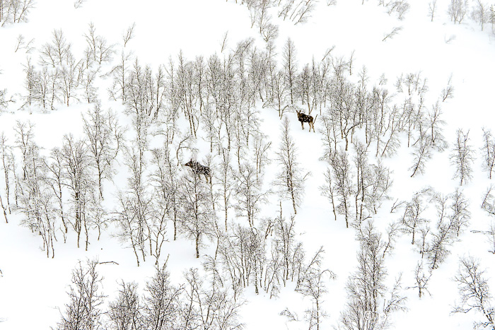 A couple of moose in the distance, on a snowy hillside with sparse birch tree coverage