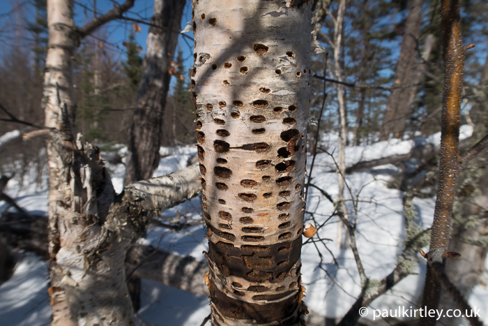 Geometric array of sapsucker holes in dead birch against a snowy sunlit landscape background