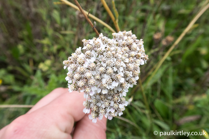 Flowers of Yarrow, Achillea millefolium