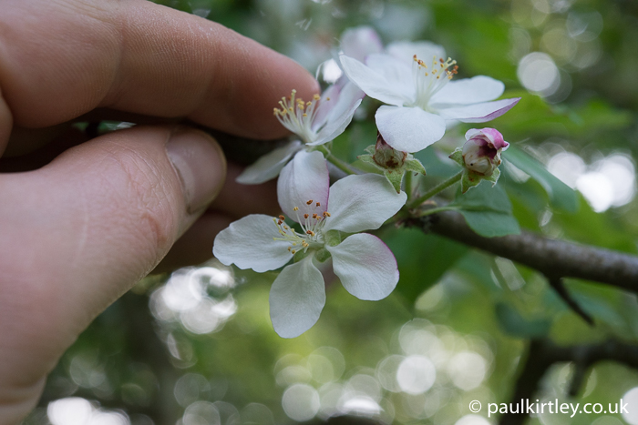 Apple blossom and hand for scale