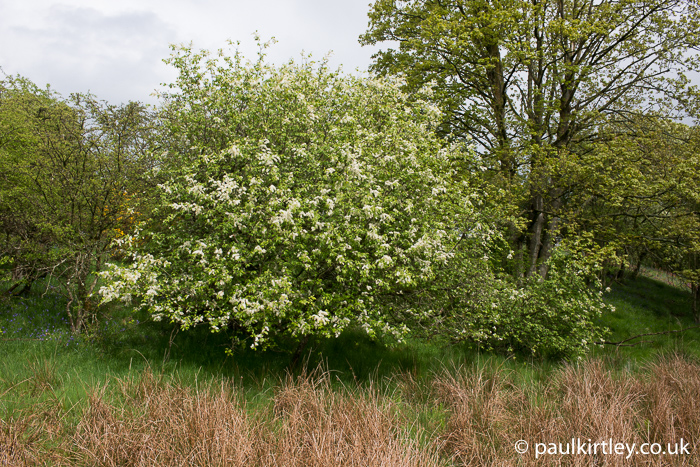 Bush with white flower racemes in the north east of england in May