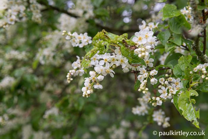 Racemes of Prunus padus, bird cherry