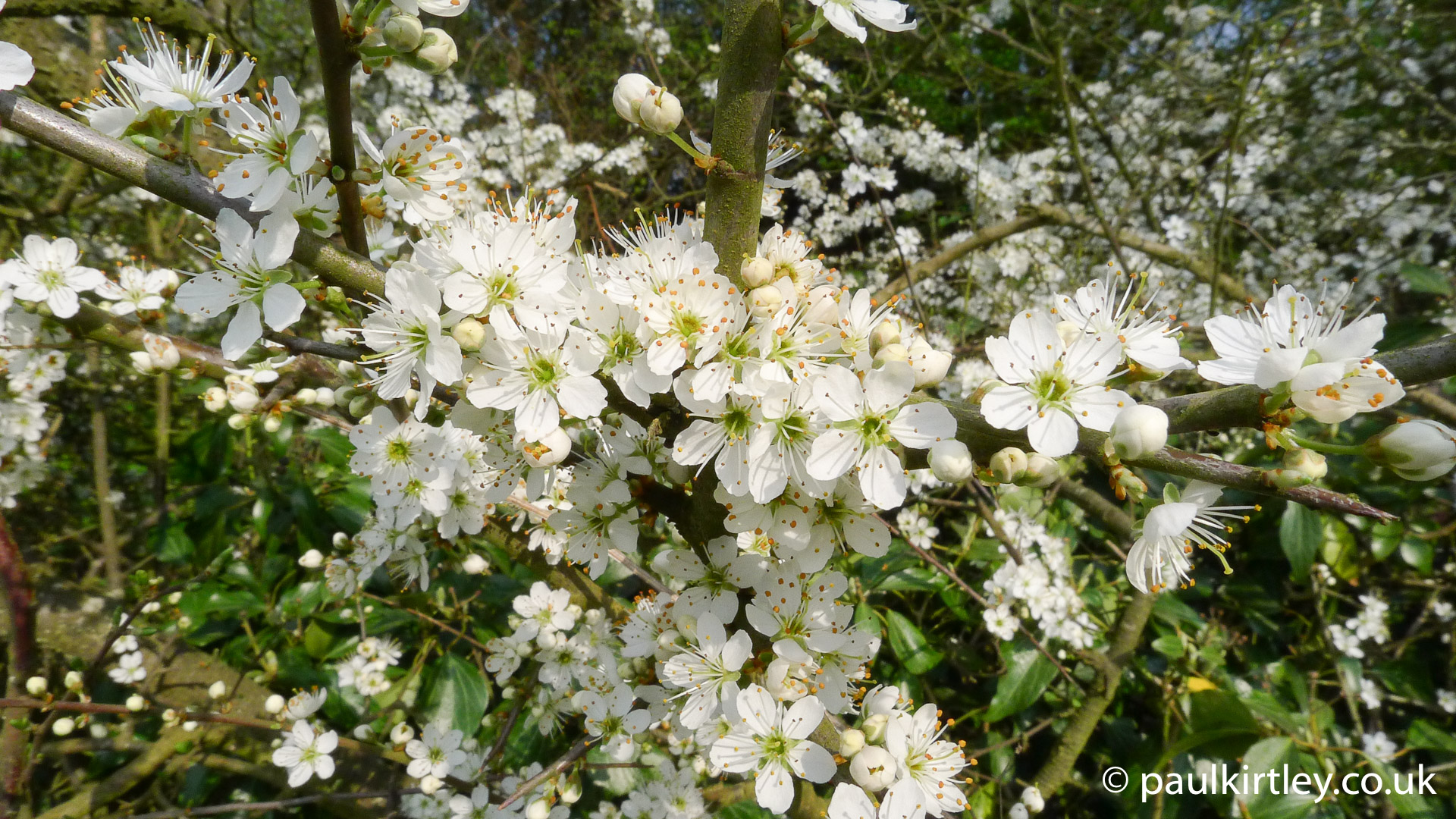 Spring Cream Essential European Blossom Identification