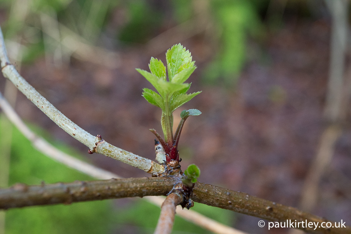 Elder, Sambucus nigra, shoots, young leaves