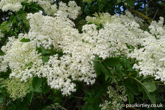 Elderflowers in full bloom