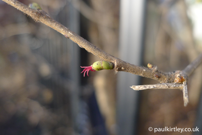 Corylus avellana - green bud with weird pink bits sticking out like tentacles