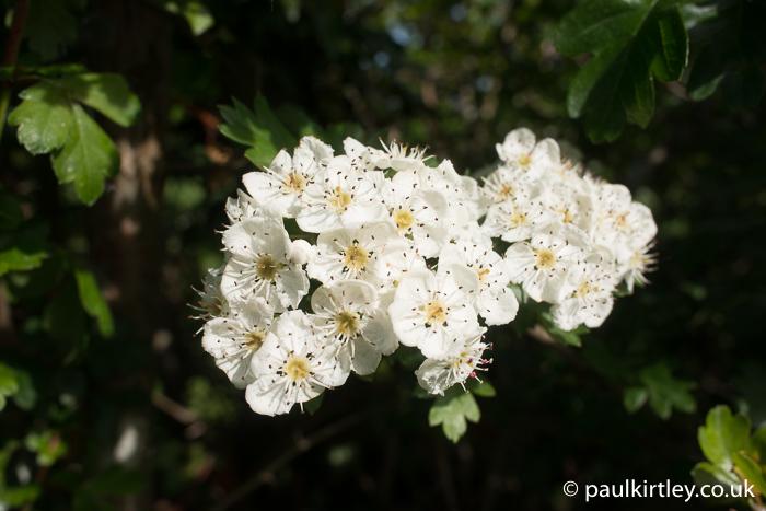 Rose-like flowers of hawthorn