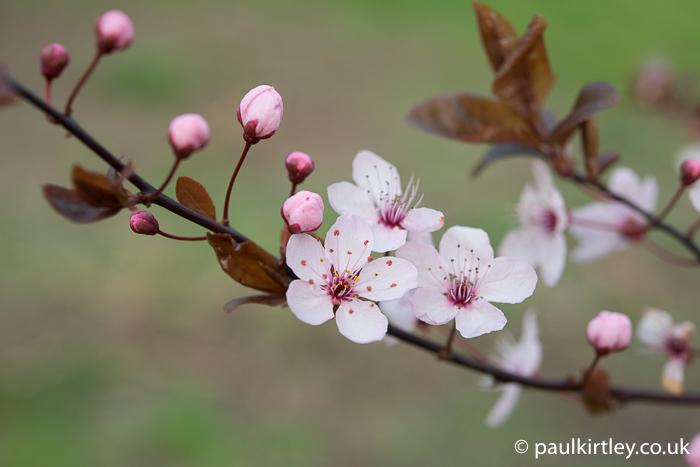 Blossom and early leaves of Prunus cerasifera Pissardii