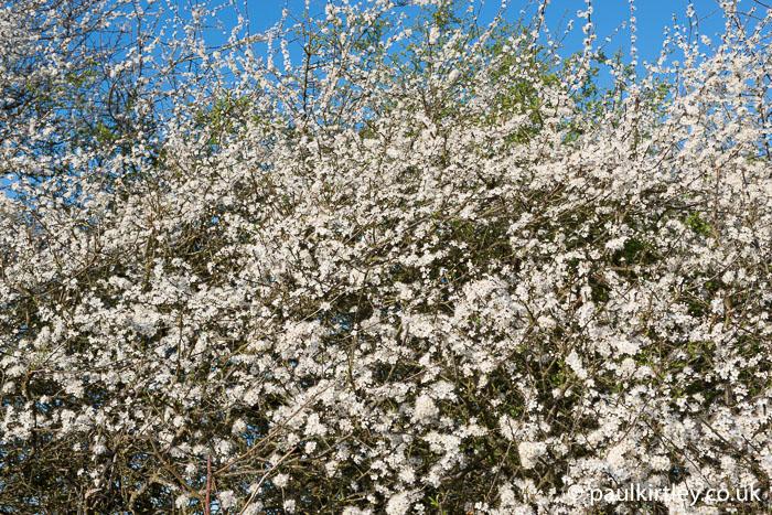 Prunus spinosa, blackthorn flowers