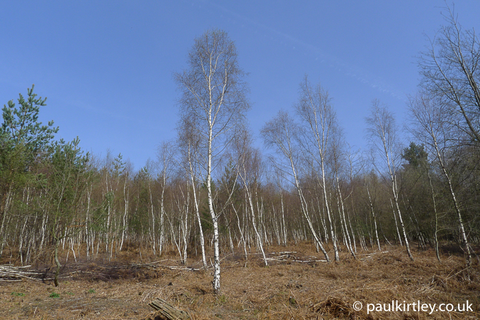 white barked silver birch trees in spring sunshine