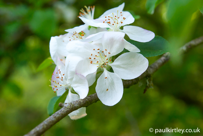 apple, Malus, blossom