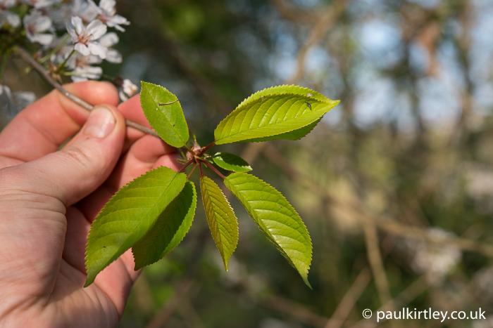 Prunus avium, wild cherry, gean, new leaves