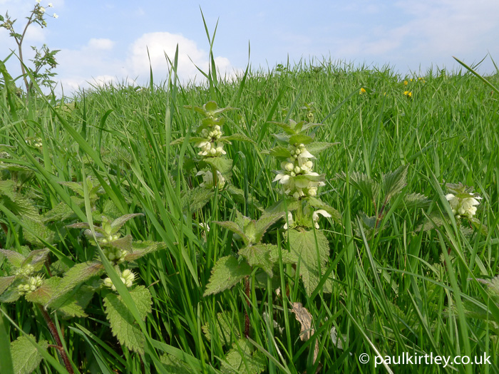 White dead nettle plants