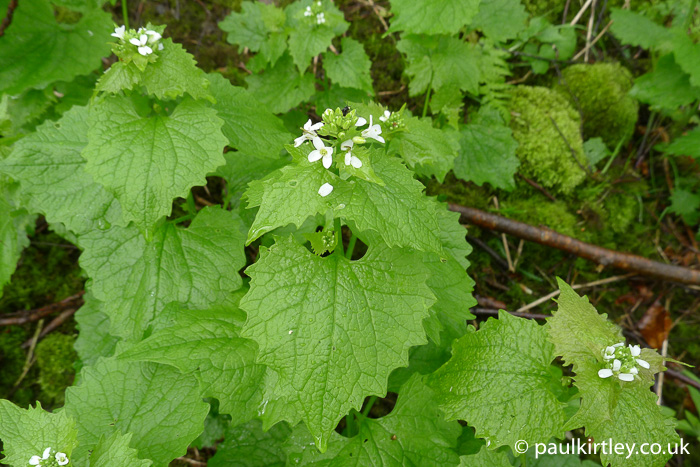 Garlic mustard plant leaves and flowers