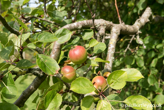 Feral apples