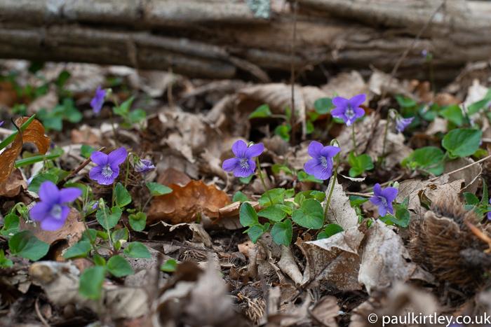 purple flowers, like pansies, in the woods