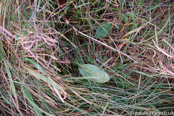 Flat green leaf in amongst blades of grass