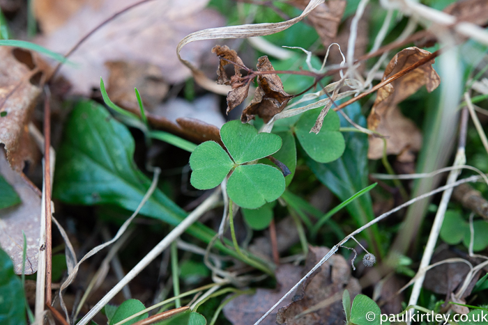 shamrock-shaped plant in the forest, a bit like clover